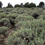 padang edelweiss di gunung papandayan