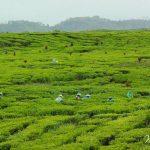 Inilah Perkebunan Teh Kayu Aro Jambi Yang Sangat Mempesona